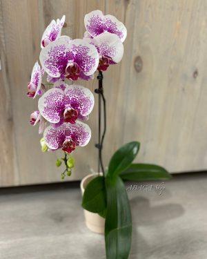 Abonnement Compo Orchidées