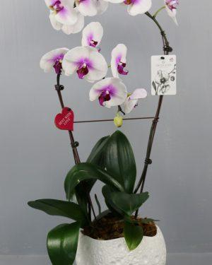 Abo Compo Orchid 2T Couleur