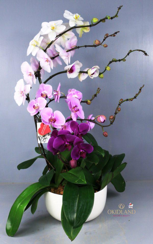 Abo Compo Orchid 6T Marée